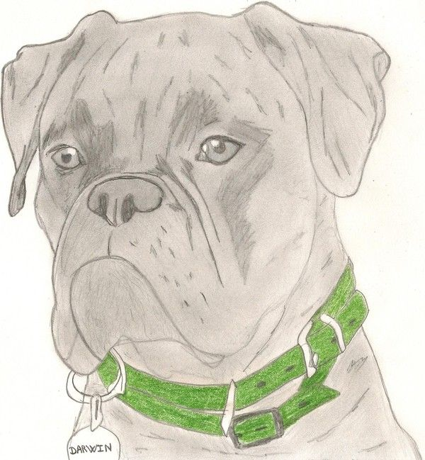 Chien page 2 - Coloriage de chien boxer ...