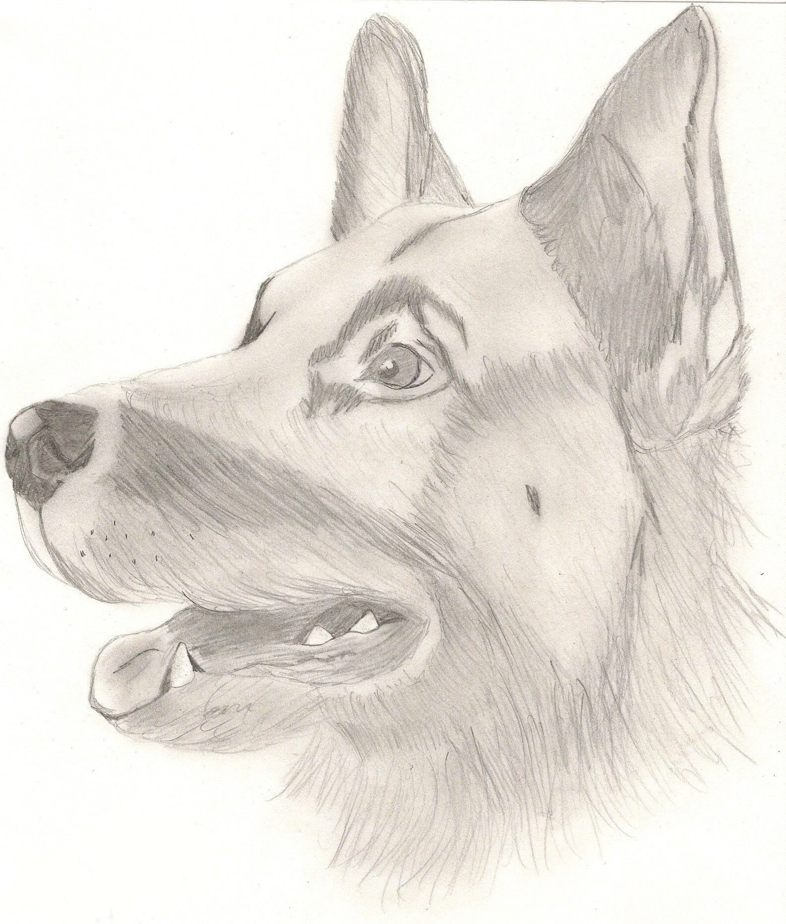 Dessin berger malinois - Dessin de chien berger allemand ...